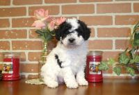 Shih-Poo Puppies for sale in East Earl, PA 17519, USA. price: NA