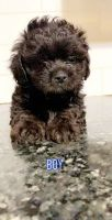 Shih-Poo Puppies for sale in Framingham, MA 01702, USA. price: NA