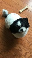 Shih-Poo Puppies for sale in Knoxville, TN, USA. price: NA