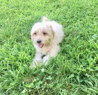 Shih-Poo Puppies for sale in Newark, NJ, USA. price: NA