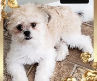Shih-Poo Puppies for sale in Howell, MI, USA. price: NA