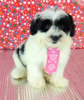 Shih-Poo Puppies for sale in Shelton, CT 06484, USA. price: NA