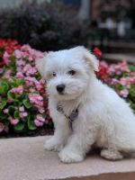 Shih-Poo Puppies for sale in Charlotte, NC, USA. price: NA