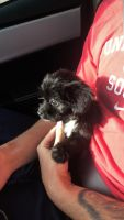 Shih-Poo Puppies for sale in Ahwatukee, Phoenix, AZ, USA. price: NA