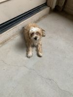 Shih-Poo Puppies for sale in Gilbert, AZ, USA. price: NA
