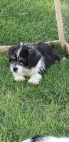 Shih-Poo Puppies for sale in Victorville, CA, USA. price: NA