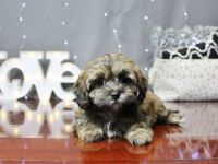 Shih-Poo Puppies for sale in Columbus, OH, USA. price: NA