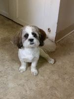Shih-Poo Puppies for sale in Albany, NY, USA. price: NA