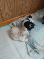 Shih-Poo Puppies for sale in Berne, IN 46711, USA. price: NA