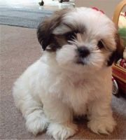 Shih-Poo Puppies for sale in Scottsville, NY 14546, USA. price: NA