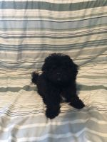 Shih-Poo Puppies for sale in Glenview, IL 60026, USA. price: NA