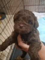 Shih-Poo Puppies for sale in Churchill Rd, Jefferson, NY, USA. price: NA
