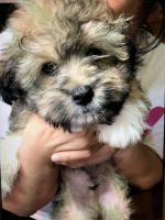 Shih-Poo Puppies for sale in 8406 Newbys Mill Dr, Chesterfield, VA 23832, USA. price: NA
