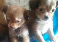 Shih-Poo Puppies for sale in Phoenix, AZ, USA. price: NA