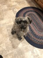 Shih-Poo Puppies for sale in De Graff, OH 43318, USA. price: NA