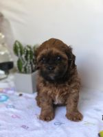Shih-Poo Puppies for sale in Selden, NY 11784, USA. price: NA
