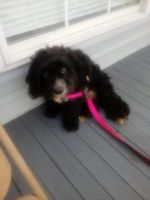 Shih-Poo Puppies for sale in New Orleans, LA, USA. price: NA