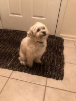Shih-Poo Puppies for sale in St. Charles, IL, USA. price: NA