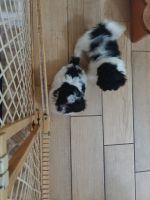 Shih-Poo Puppies for sale in DeLand, FL 32724, USA. price: NA