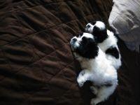 Shih-Poo Puppies for sale in Philadelphia, PA, USA. price: NA