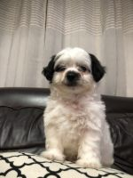 Shih-Poo Puppies for sale in Kissimmee, FL, USA. price: NA