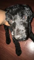 Shih-Poo Puppies for sale in District Heights, MD 20747, USA. price: NA