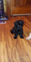 Shih-Poo Puppies for sale in Albion, NY 14411, USA. price: NA