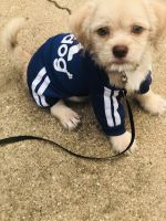 Shih-Poo Puppies for sale in Lancaster, TX, USA. price: NA