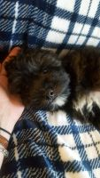Shih-Poo Puppies for sale in Virginia Beach, VA, USA. price: NA