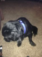 Shih-Poo Puppies for sale in Allentown, PA 18103, USA. price: NA