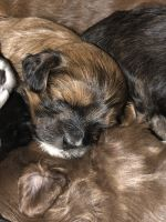 Shih-Poo Puppies for sale in Butler, PA, USA. price: NA