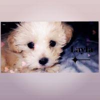 Shih-Poo Puppies for sale in 9501 Brockbank Dr, Dallas, TX 75220, USA. price: NA