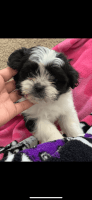 Shih-Poo Puppies for sale in Terrell, TX, USA. price: NA