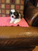 Shih-Poo Puppies for sale in Atlas, MI 48411, USA. price: NA