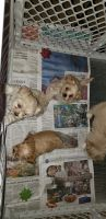 Shih-Poo Puppies for sale in Mohave Valley, AZ 86440, USA. price: NA