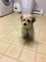 Shih-Poo Puppies for sale in Lancaster, PA, USA. price: NA