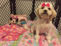 Shih-Poo Puppies for sale in Ocala, FL, USA. price: NA