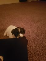 Shih-Poo Puppies for sale in Rockford, IL, USA. price: NA