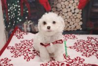 Shih-Poo Puppies for sale in Las Vegas, NV 89139, USA. price: NA
