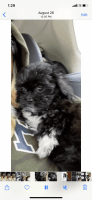 Shih-Poo Puppies Photos