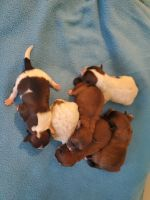 Shih-Poo Puppies for sale in San Antonio, TX 78263, USA. price: NA