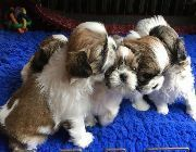 Shih Tzu Puppies for sale in Michigan Ave, West Bloomfield Township, MI 48324, USA. price: NA