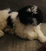 Shih Tzu Puppies for sale in Kinston, NC, USA. price: NA