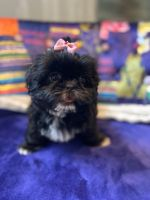Shih Tzu Puppies for sale in New York, NY, USA. price: NA