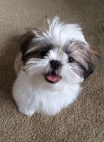Shih Tzu Puppies for sale in Euless, TX 76039, USA. price: NA