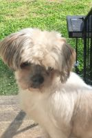 Shih Tzu Puppies for sale in Huntsville, AL, USA. price: NA