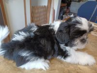 Shih Tzu Puppies for sale in Henderson, KY 42420, USA. price: NA
