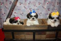 Shih Tzu Puppies for sale in Harrisburg, PA, USA. price: NA