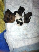 Shih Tzu Puppies for sale in China Grove, NC 28023, USA. price: NA