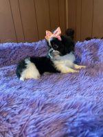 Shih Tzu Puppies for sale in Midland Park, NJ 07432, USA. price: NA